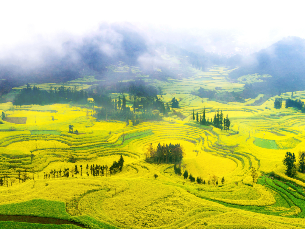 Canola Flower Fields - See China's stunning fields of gold
